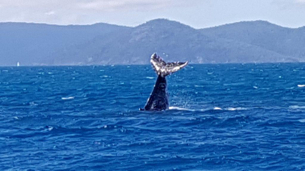 לוויתן בעמידת ראש על הבוקר